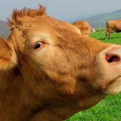 Vacherie de vaches – 2